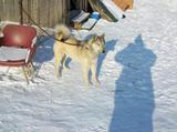 Рабочая Собака Породистых Кровей