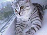 """Нужен кот вислоухий окраса """"вискас"""" ищем на вязку"""